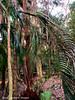 Drought Killed Archontophoenix cunninghamiana - Bangalow Palm, September 2019
