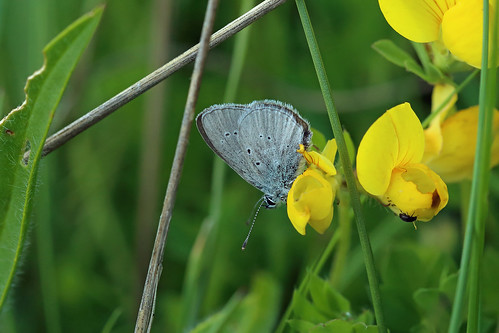 Small Blue, Eyemouth, Borders