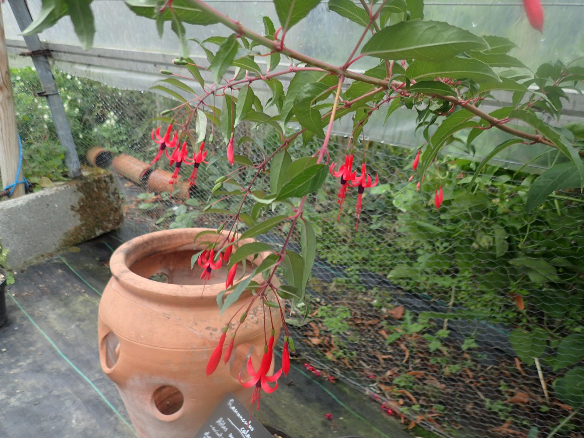 Fuchsia regia