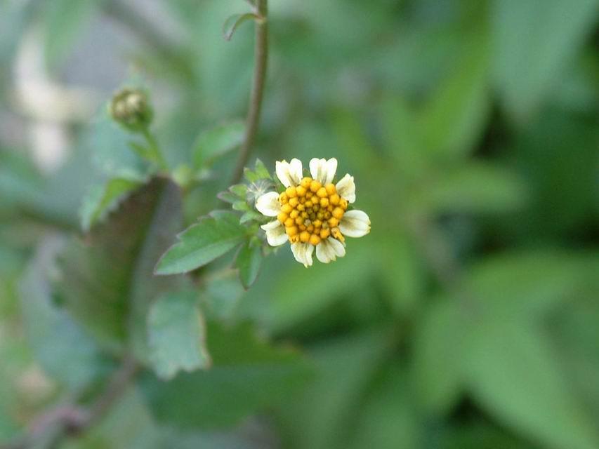 咸豐草,舌狀花辦較小。圖片來源:認識植物(CC BY-NC-ND 2.5 TW)