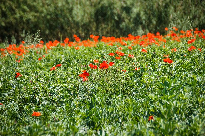 Campo lleno de amapolas en Gallecs