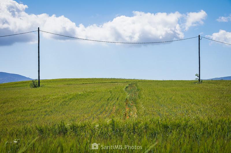 Campos de trigo en Gallecs