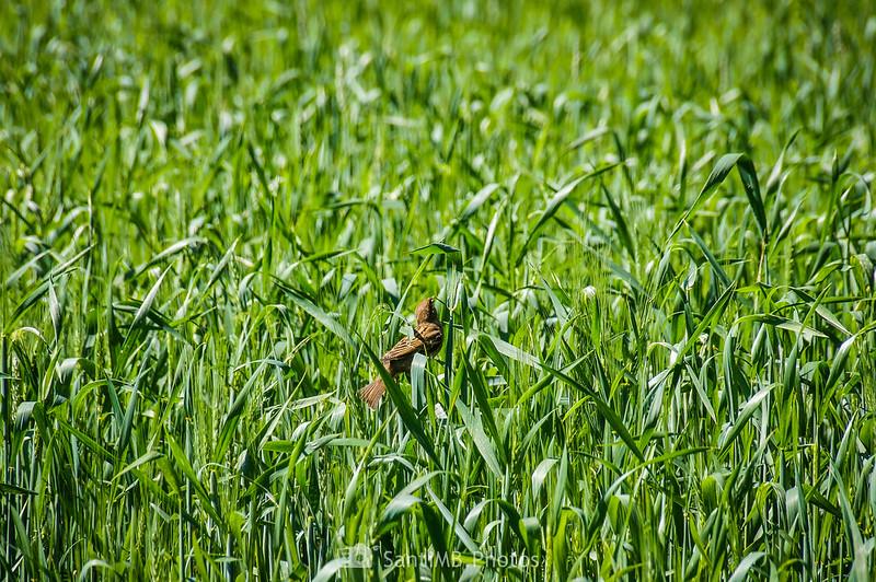 Gorrión en un campo de trigo en Can Jornet de Gallecs