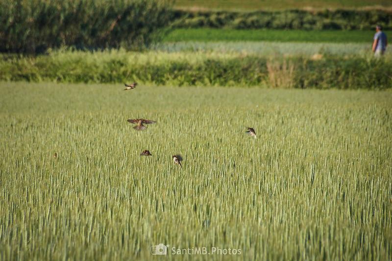 Gorriones sobre un campo de cereal en Gallecs