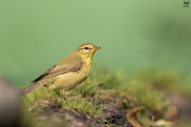 Felosa-musical, Willow warbler (Phylloscopus trochilus)
