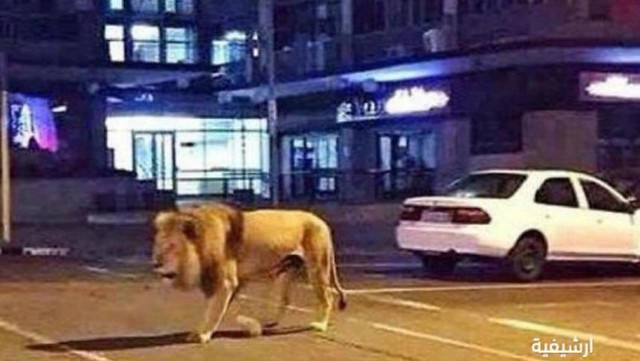 5359 Saudi arrested for walking with a lion on Jeddah roads