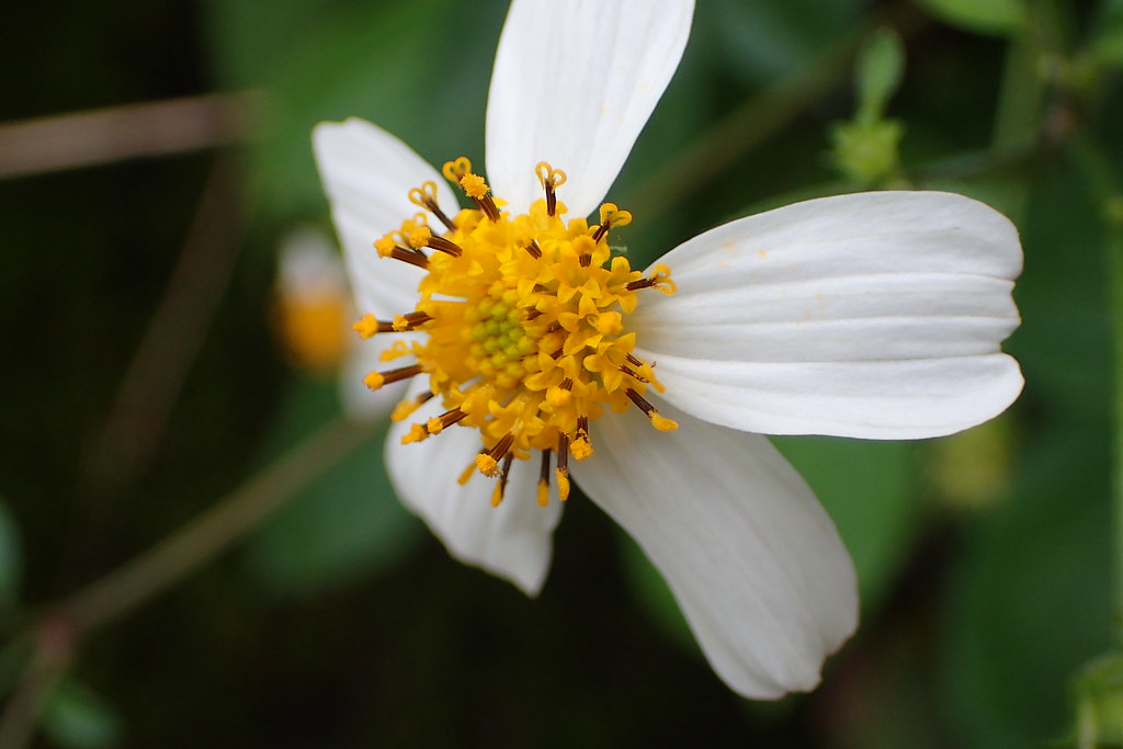 (大圖)中間的管狀花為兩性花,兩個分岔柱頭的雌蕊像一個個小愛心。