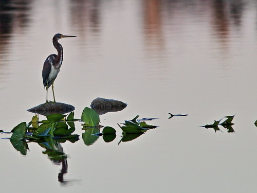 Tricolored Heron 2-20190925