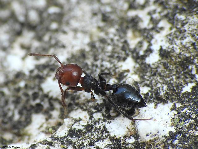 Ant fight/wrestling victim