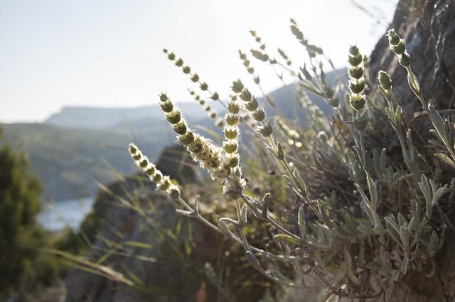 Greek Mountain Tea - www.teapro.co.uk