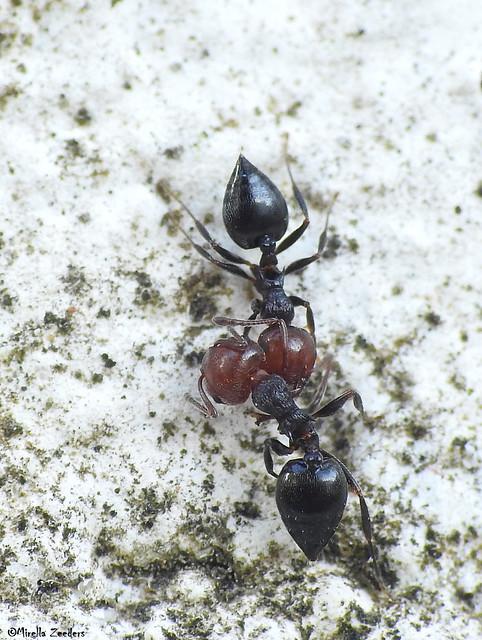 Ant fight/wrestling