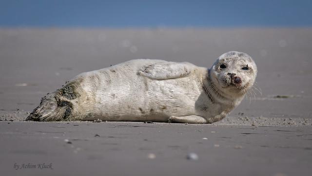 Junger Seehund (Phoca vitulina) auf dem Amrumer Kniepsand