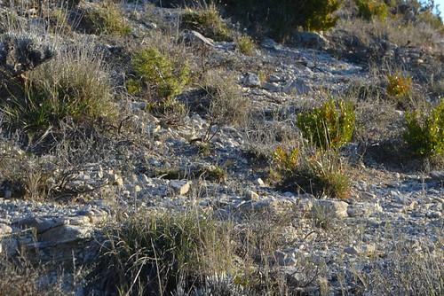 Lithodora fruticosa - grémil ligneux 48793714522_be37738718