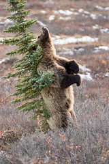 Grizzly Scratching Back