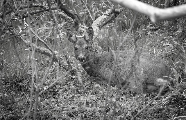 Roe deer, Glen Gynack above Kingussie, Cairngorms National Park, Highland, Scotland, UK