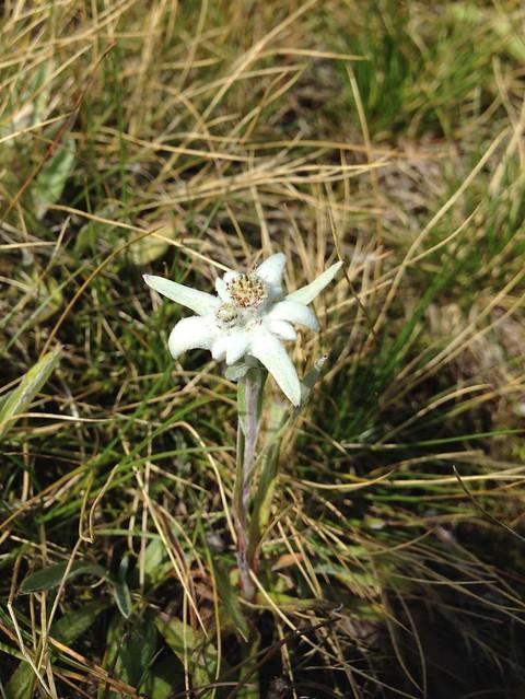 Leontopodium nivale - Edelweiss