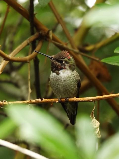 Anna's Hummingbird, American Legion Park, Poulsbo, Kitsap County, Washington, USA, 20 September 2019