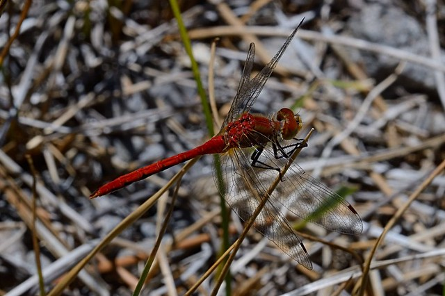 Sympetrum obtrusum (White-faced Meadowhawk)