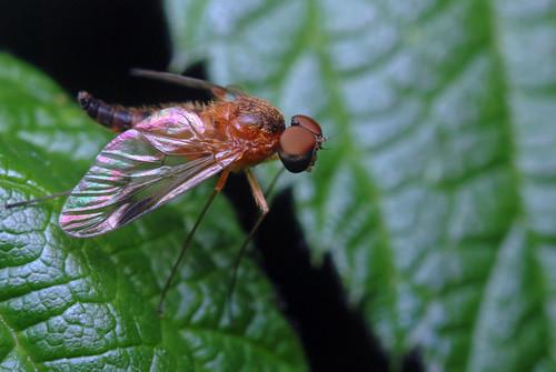 Newborn fly ( I think..)