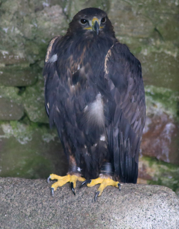 Golden Eagle, Dunrobin Castle