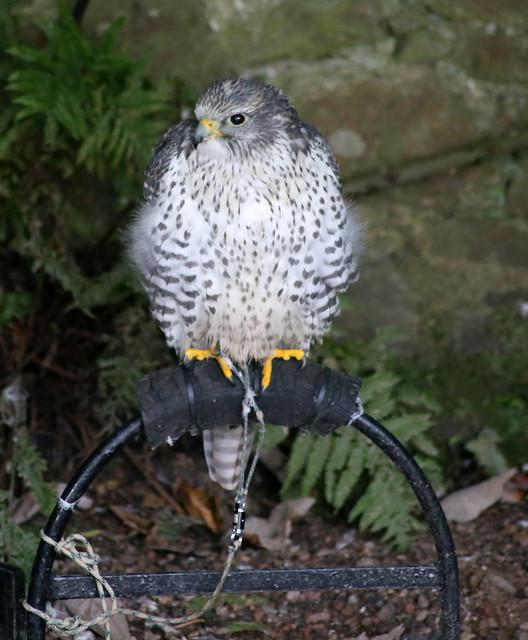 Peregrine Falcon, Dunrobin Castle