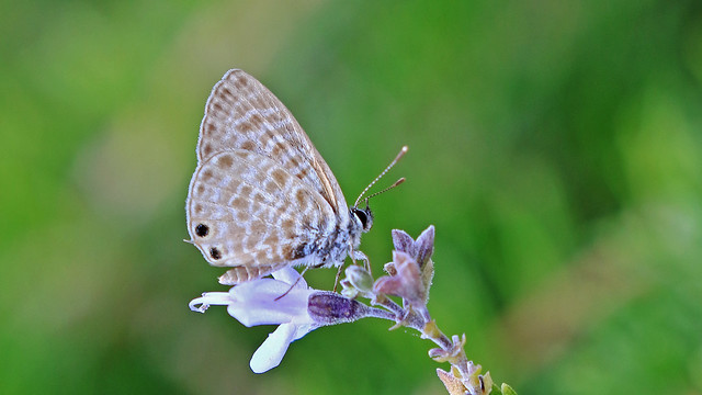 Lang's Short-tailed Blue - Leptotes pirithous