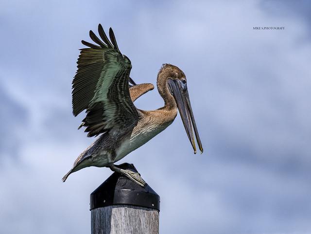 Perching brown pelican
