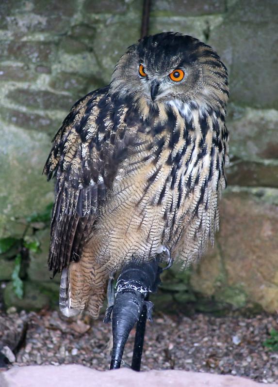Eagle Owl, Dunrobin Castle