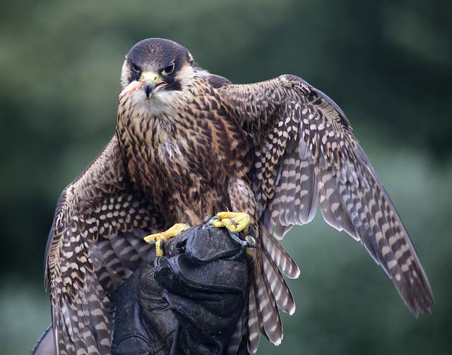 Gos Hawk, Dunrobin Castle