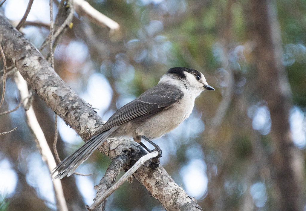 Gray Jay 1 (1 of 1)