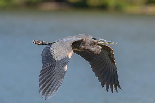 clarksville greatblueheron ohio birds cowanlake clintoncounty