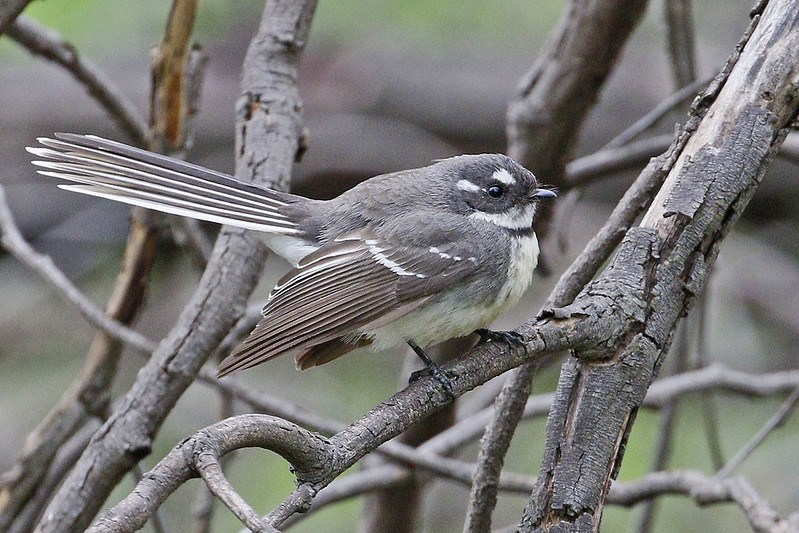 Grey Fantail (1381)