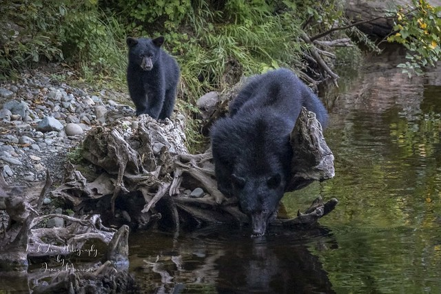 Vancouver Island Black Bear - Ursus americanus vancouveri