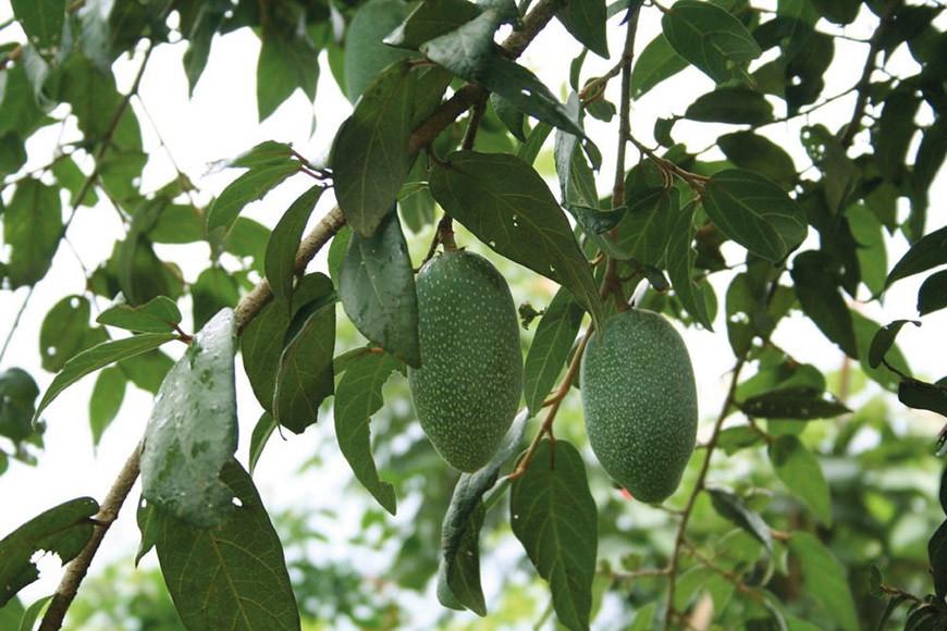 你看過愛玉長在樹上的樣子嗎?圖為綠底白點的愛玉果實。