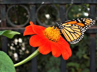 Monarch on Mexican sunflower -- 100_1406