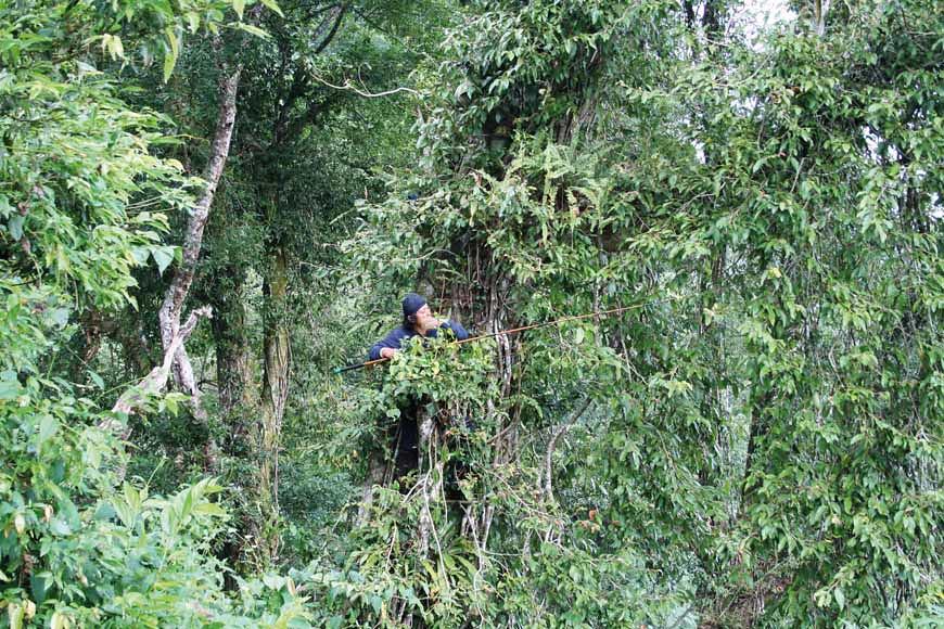 圖為高山愛玉採收方式,背著尾端綁刀片的釣魚竿爬上數十公尺的樹後,近處的愛玉果實直接手採,遠處的則用釣竿尾端刀片割落。