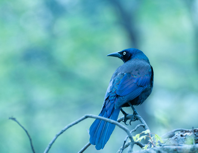 Common Grackle 1 (1 of 1)
