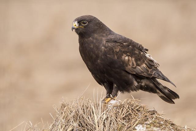 Dark Morph Rough-legged Hawk