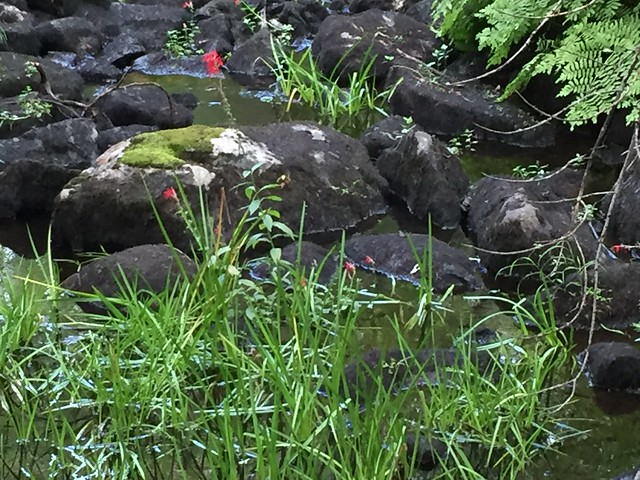 Cardinal flowers and rocks in a swamp at Bon Echo Provincial Park on HWY. ON. 41 , Cloyne , Ontario , Canada , Martin's photographs , September 7. 2019