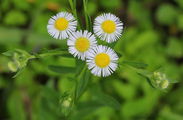 Daisy Fleabane-Erigeron strigosus-Asteraceae fam- Aster -Amami Japan - 180619 (1)