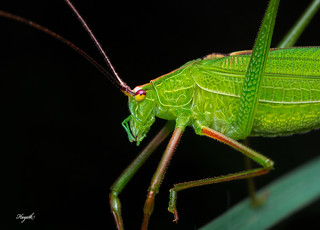 Katydid close-up, with stunning leaf-like venation | by walksthewildside
