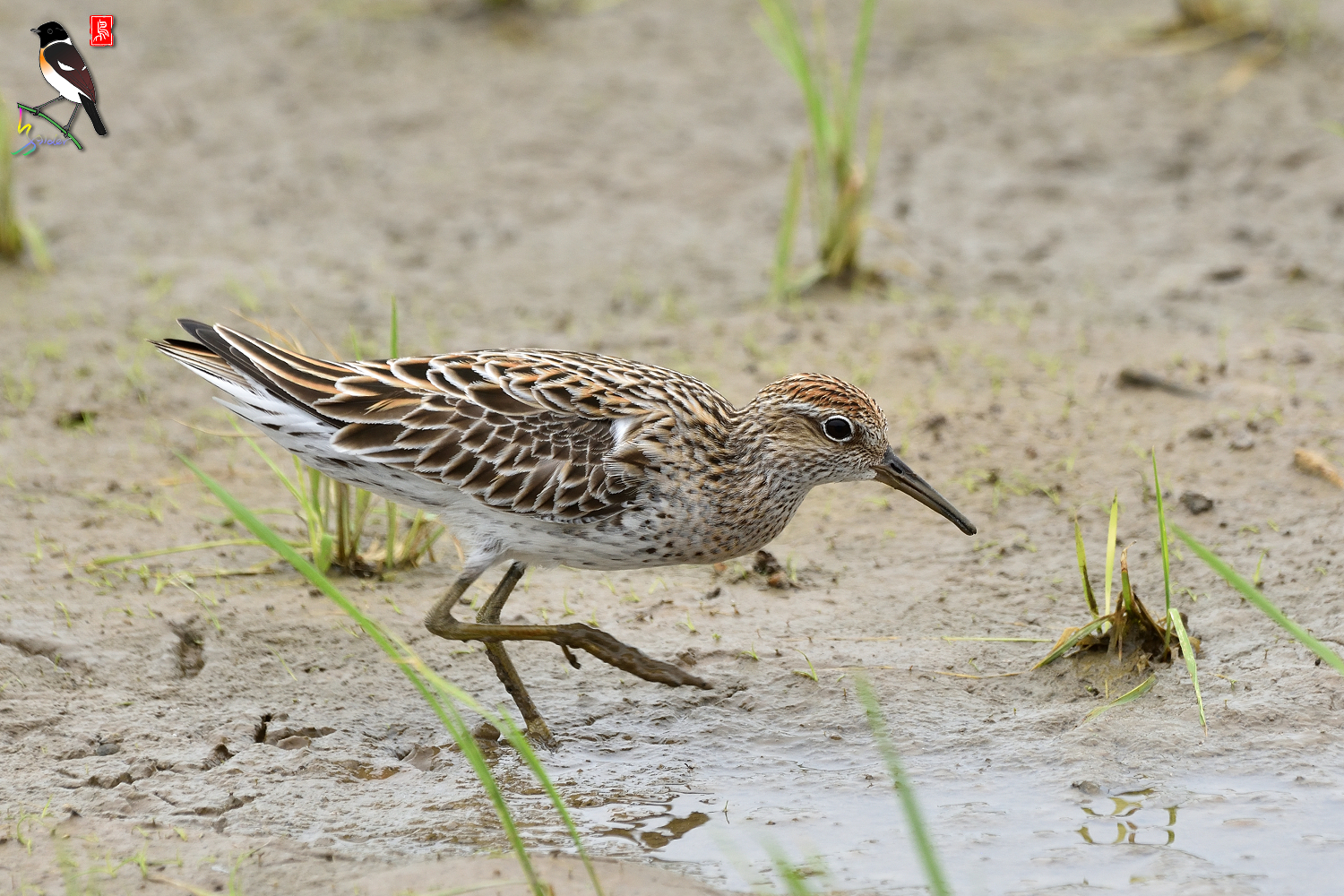 Sharp-tailed_Sandpiper_3595