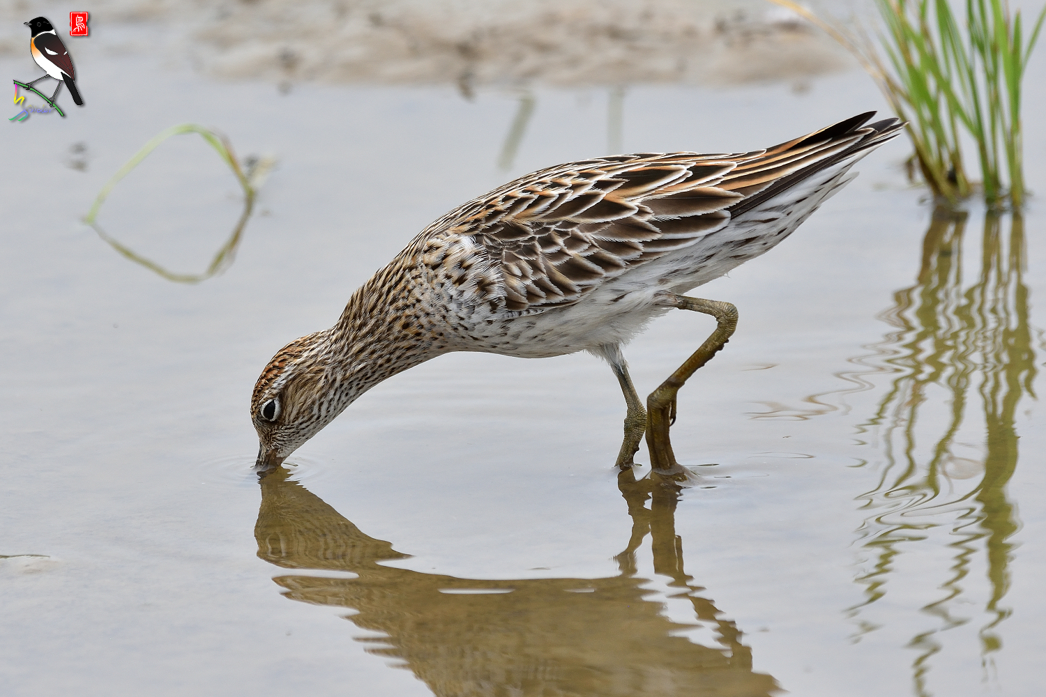 Sharp-tailed_Sandpiper_3555
