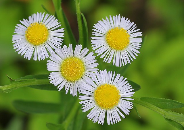 Daisy Fleabane-Erigeron strigosus-Asteraceae fam- Aster -Amami Japan - 180619 (2)