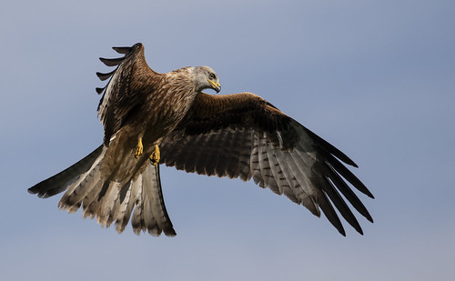 redkite raptor wildlife wild nature red wings sky beautiful