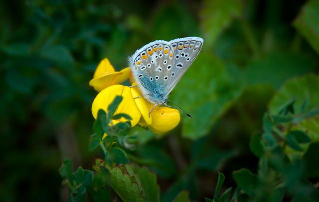 a Common Blue (azuré commun)