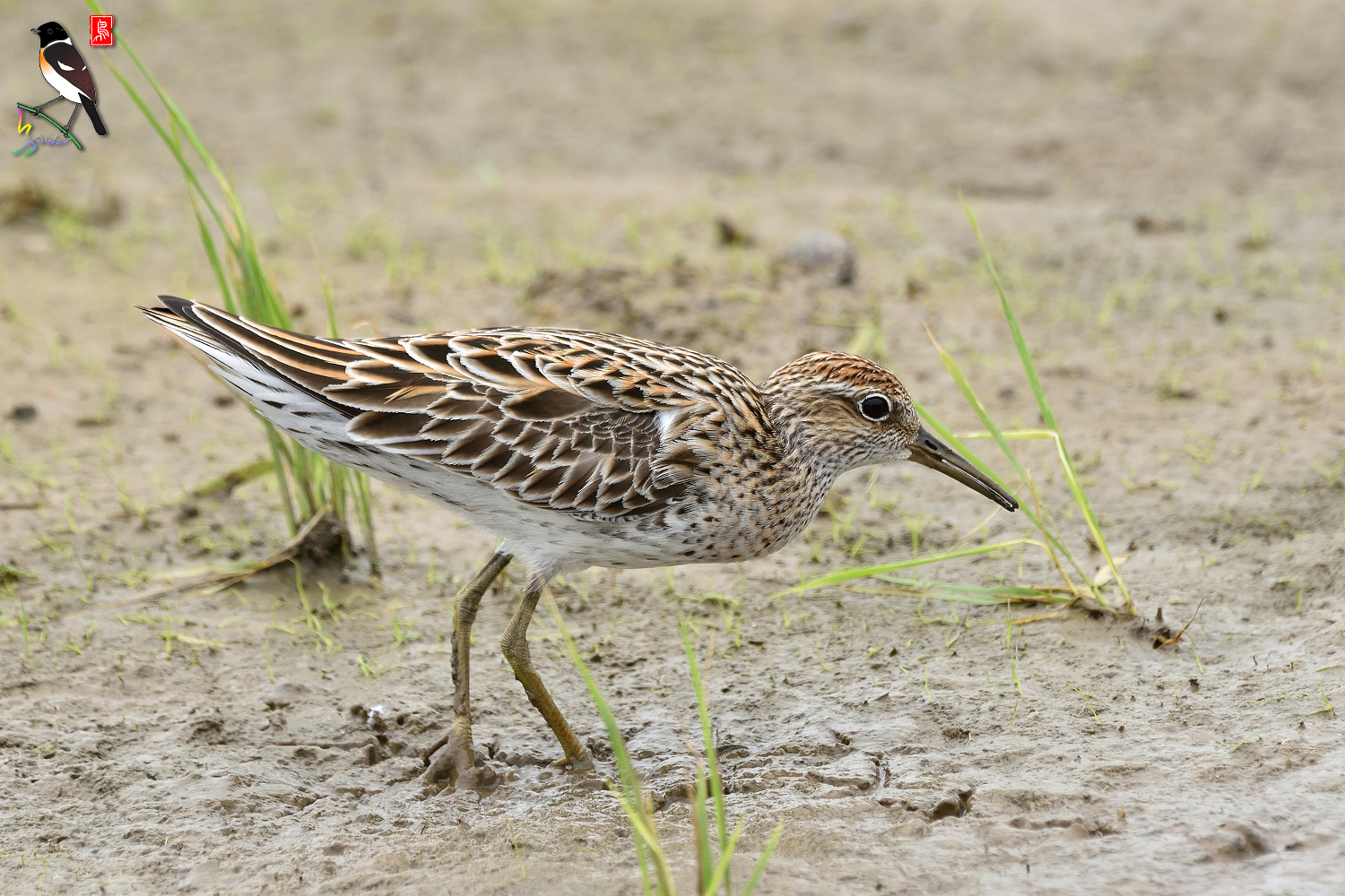 Sharp-tailed_Sandpiper_3591