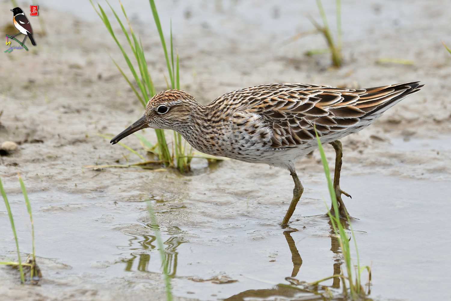 Sharp-tailed_Sandpiper_3567