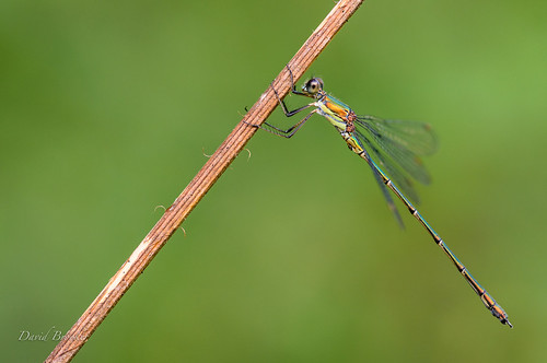 Willow emerald, male