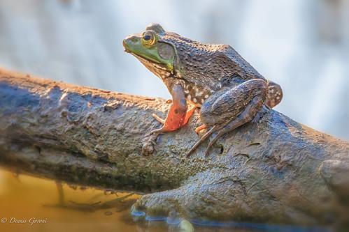virginia amphibian frog huntleymeadows sunrise water wildlife